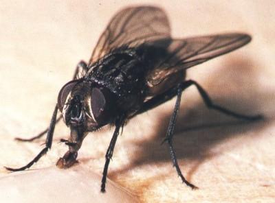 ¿Dónde se esconden las moscas durante el invierno?