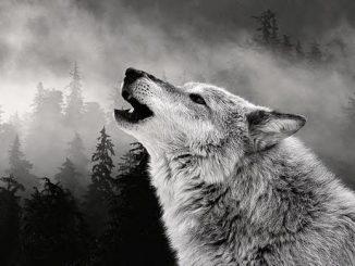 porque aullan los lobos