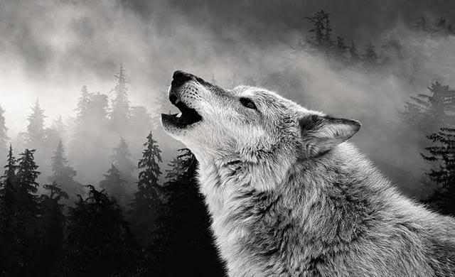 ¿Por qué los lobos aúllan? El aullido del lobo - LosPorque