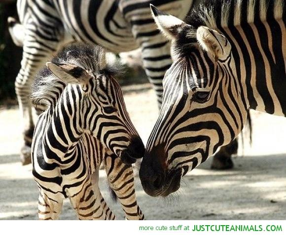 cebras rayadas