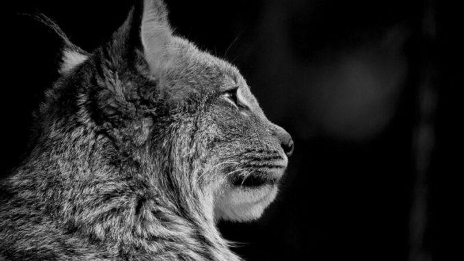 ¿Por qué ven en la oscuridad los felinos?
