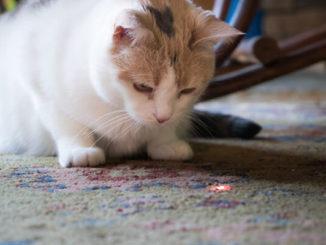 ¿Por qué los gatos juegan con la comida que atrapan?